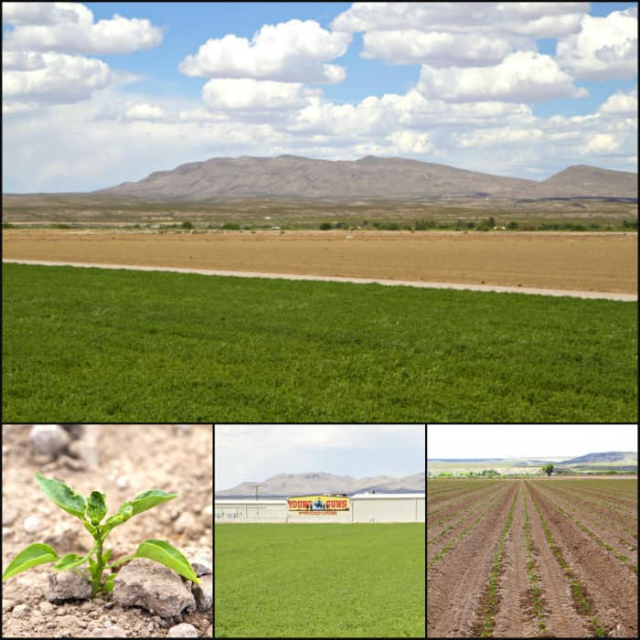Hatch chile fields in hatch, new mexico